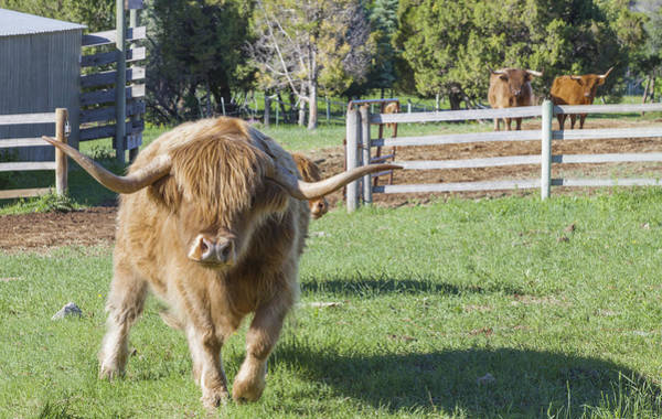Photograph - Highland Steer by Fran Riley