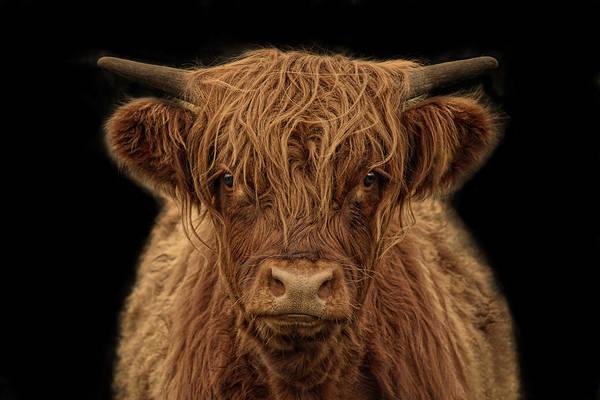 Cattles Photograph - Highlander by Joachim G Pinkawa