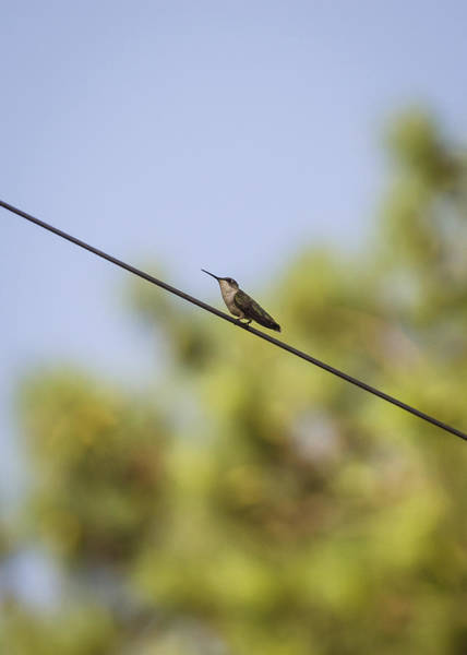 Photograph - Highwire Act by Heather Applegate