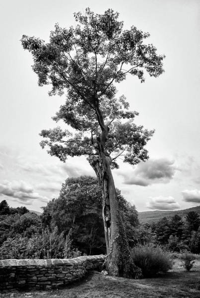 Photograph - Hildene Tree 5675 by Guy Whiteley