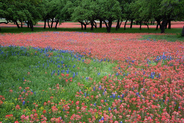 Texas Bluebonnet Photograph - Hill Country, Texas, Indian Paint Brush by Alice Garland