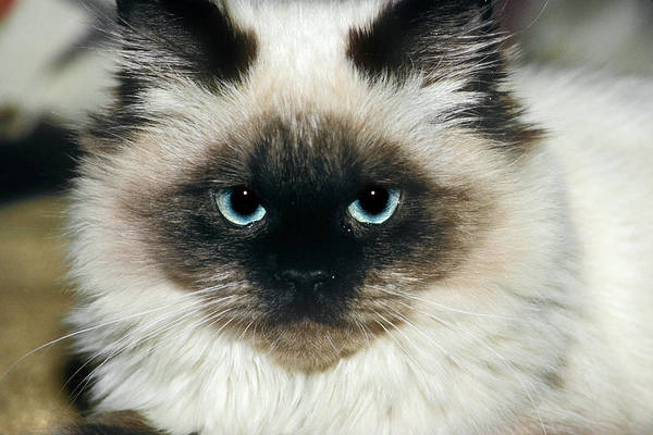 Long Hair Cat Photograph - Himalayan Cat Long Haired Looking by Animal Images