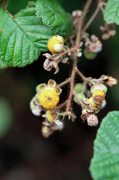 Introduced Species Photograph - Himalayan Raspberry (rubus Hawaiensis) by Michael Szoenyi