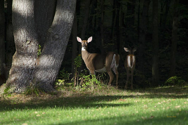 Photograph - Whitetail Deer Hindsight by Christina Rollo
