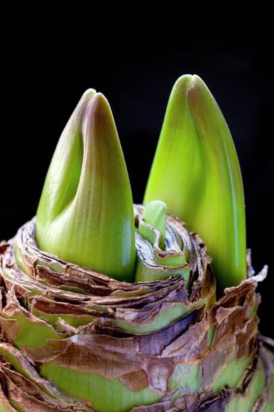Hybrid Photograph - Hippeastrum Bulb Producing Flower Buds by Dr Jeremy Burgess