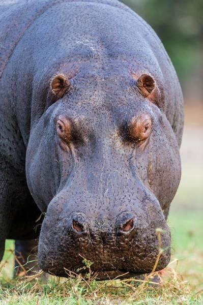 Chobe National Park Wall Art - Photograph - Hippo Bull Portrait by Peter Chadwick