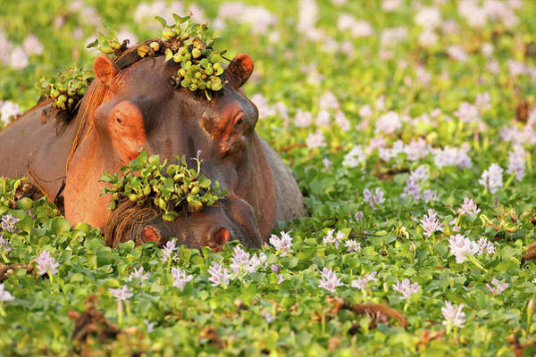 Hippo Photograph - Hippo Covered In Plants In Waterhole by David Fettes