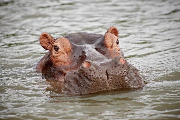 Hippo Photograph - Hippo, Hippopotamus Amphibius by Juergen Ritterbach