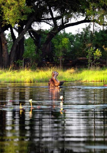 Hippo Photograph - Hippo In Botswana by Nicolamargaret