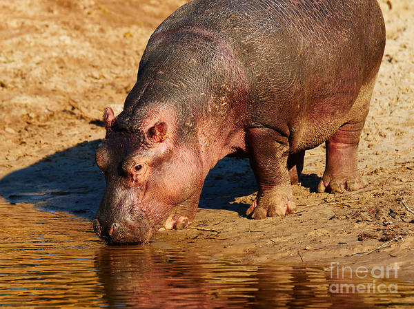 Photograph - Hippo On The Waterfront During Sunset by Nick  Biemans