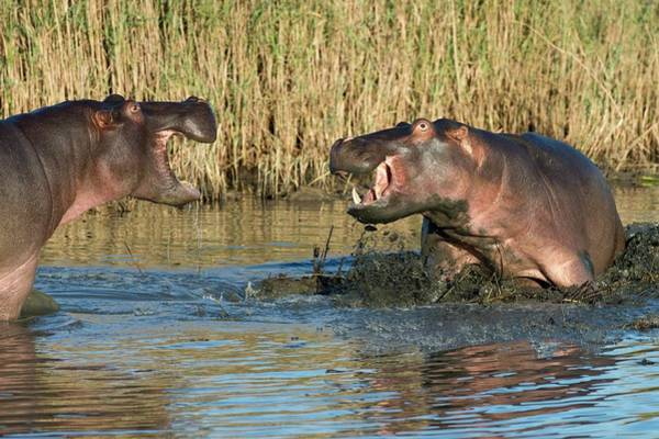 Hippopotamus Amphibius Wall Art - Photograph - Hippopotamus Confrontation by Tony Camacho