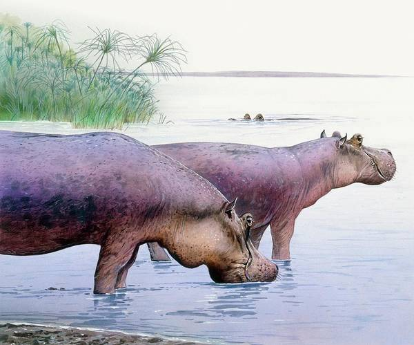 Hippo Photograph - Hippopotamus Gorgops by Michael Long/science Photo Library