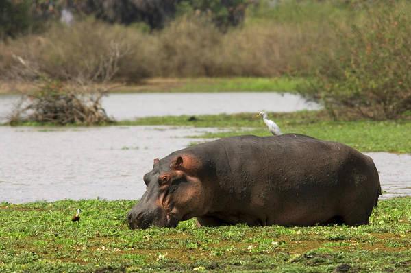 Hippo Photograph - Hippopotamus Hippopotamus Amphibius by Ariadne Van Zandbergen