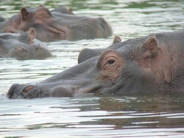 Photograph - Hippopotamus In Kenya by Tony Murtagh