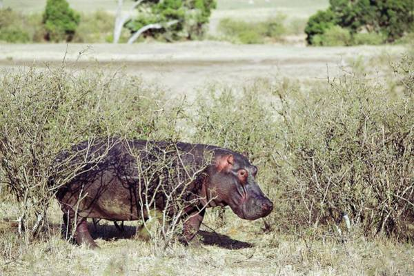 Hippo Photograph - Hippopotamus In Scrubland by John Devries/science Photo Library