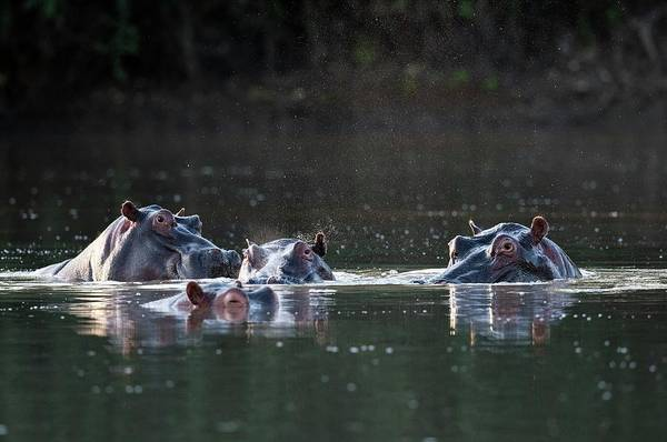 Hippopotamus Amphibius Wall Art - Photograph - Hippopotamus Pod In A Waterhole by Tony Camacho