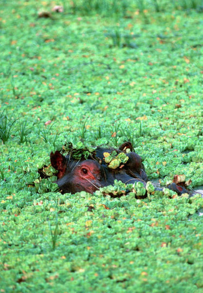 Hippo Photograph - Hippopotamus Under Weeds by William Ervin/science Photo Library