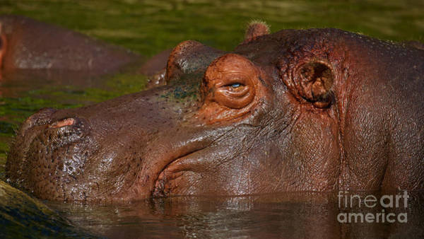 Photograph - Hippopotamus With Its Head Just Above Water by Nick  Biemans