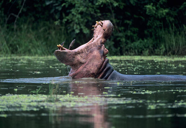 Hippopotamus Amphibius Wall Art - Photograph - Hippopotamus Yawning by Dr P. Marazzi/science Photo Library