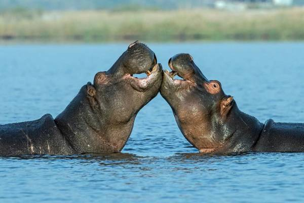 Wall Art - Photograph - Hippopotamuses Being Affectionate by Tony Camacho/science Photo Library