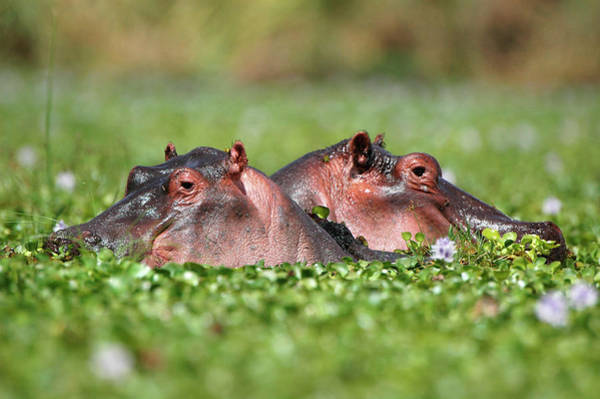 Hippopotamus Amphibius Wall Art - Photograph - Hippopotamuses by Dr P. Marazzi/science Photo Library