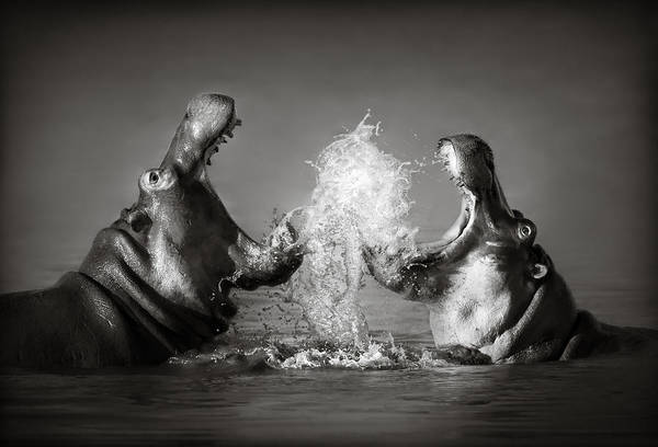Black And White Photograph - Hippo's Fighting by Johan Swanepoel