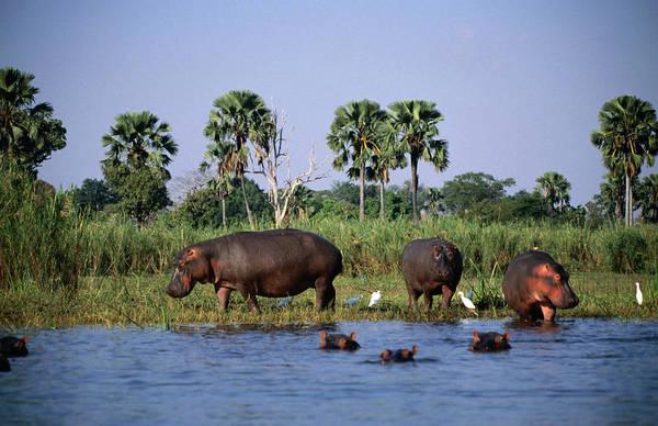 Hippo Photograph - Hippos Hippopotamus Amphibius In River by Ariadne Van Zandbergen