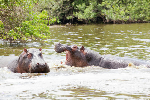 Hippo Photograph - Hippos In Water Under African Sun by 1001slide