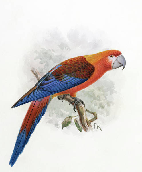 Macaw Photograph - Hispaniolan Macaw by Natural History Museum, London/science Photo Library