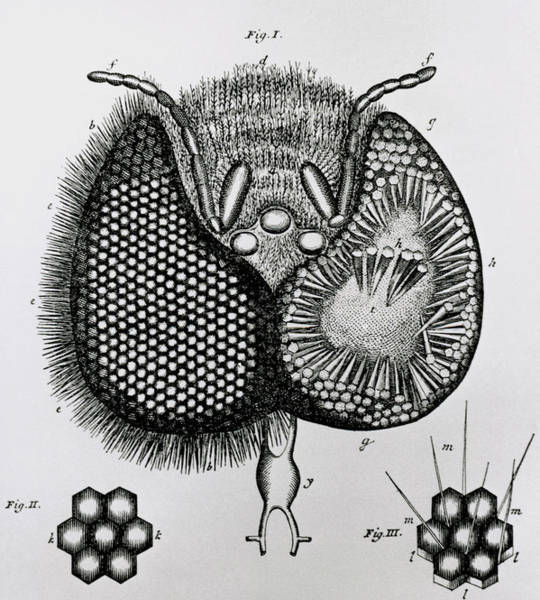 Compound Eyes Photograph - Historical Artwork Of Ommatidia In Honey Bee Eye by Science Photo Library