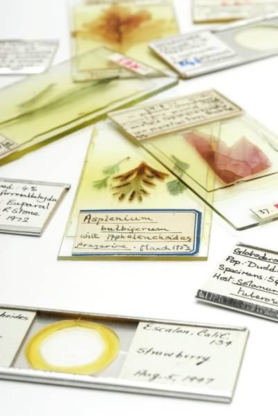 Histology Photograph - Historical Slides Collection by Uk Crown Copyright Courtesy Of Fera/science Photo Library