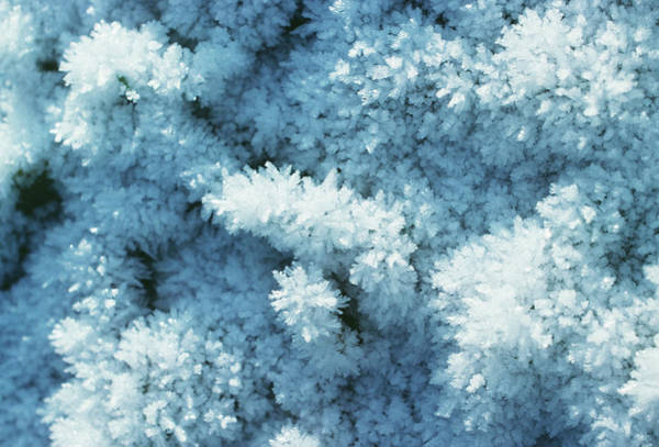 Hoar Photograph - Hoar Frost Crystals by Dr Jeremy Burgess/science Photo Library