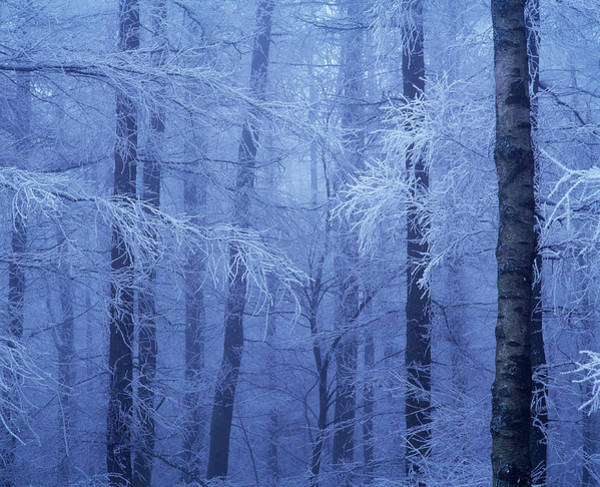 Hoar Photograph - Hoar Frost In Woodland by Simon Fraser/science Photo Library