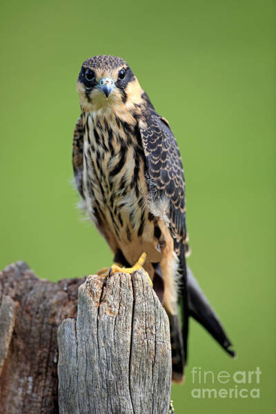 Falconiformes Photograph - Hobby Falcon by Sohns/Okapia