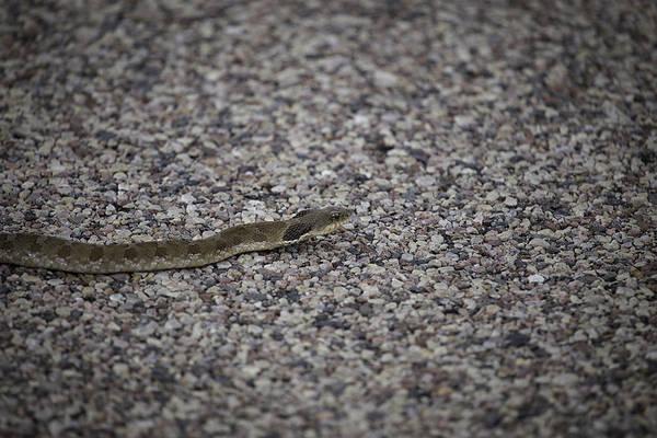 Eastern Hognose Snake Photograph - Hognose Snake by Thomas Young