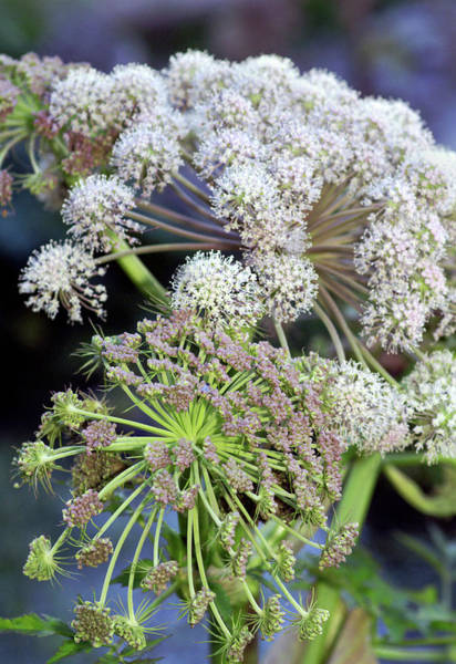 Biennial Photograph - Hogweed Flowers (heracleum Sphondylium) by Brian Gadsby/science Photo Library