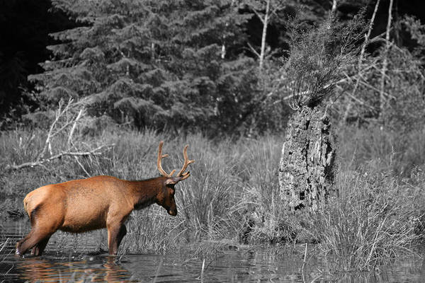Photograph - Hoh Elk by Dylan Punke