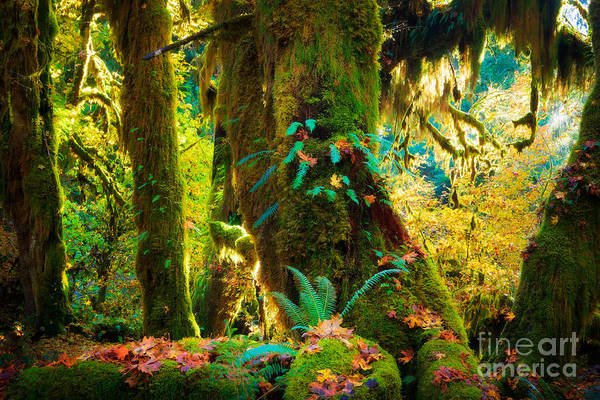 Photograph - Hoh Grove by Inge Johnsson