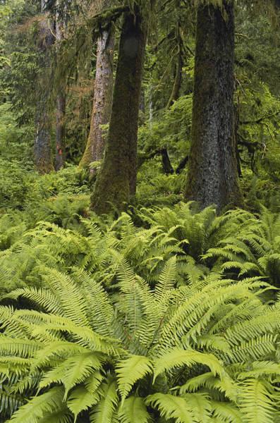 Wall Art - Photograph - Hoh Rainforest, Washington by Brenda Tharp