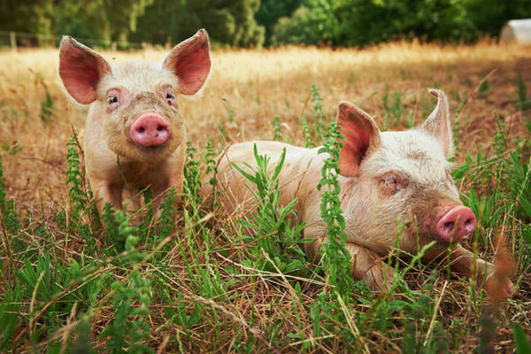 Pig Photograph - Hohen Pigs by Frances Andrijich