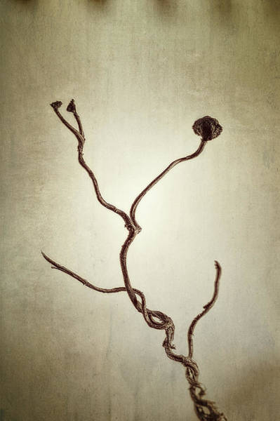 Vines Wall Art - Photograph - Holdfast Rootlet by Scott Norris
