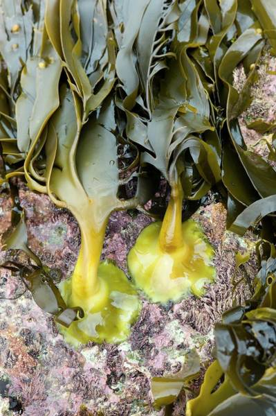 Kelp Photograph - Holdfasts Of Oarweed (eklonia Radiata) by Dr Jeremy Burgess/science Photo Library