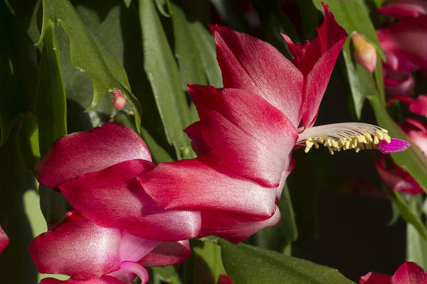 Photograph - Holiday Cactus Blossoms by MM Anderson