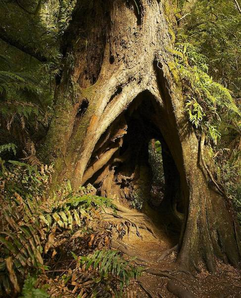 Thru Photograph - Hollow Tree by Stuart Litoff