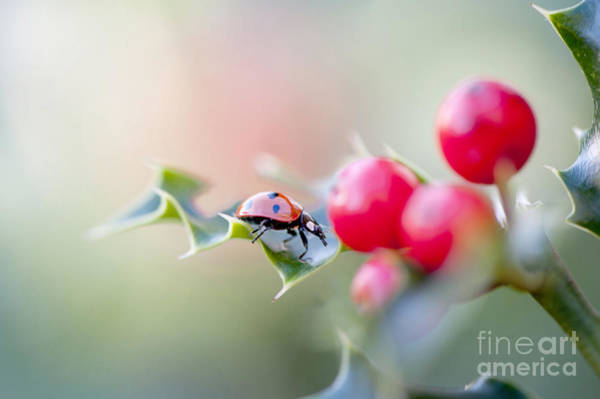 Ladybird Wall Art - Photograph - Holly Lady by Jacky Parker