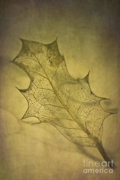 Evergreens Photograph - Holly Leaf by Jan Bickerton
