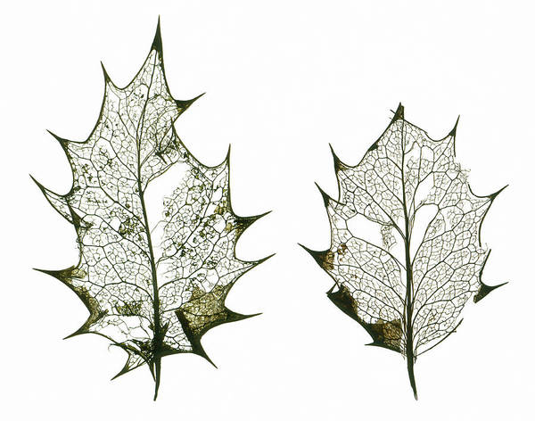 Leaf Venation Wall Art - Photograph - Holly Leaf Skeletons by Gustoimages/science Photo Library