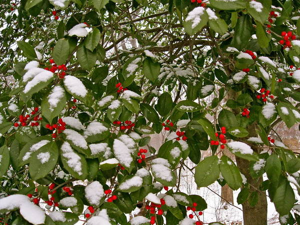 Photograph - Holly - Winter by Felix Zapata