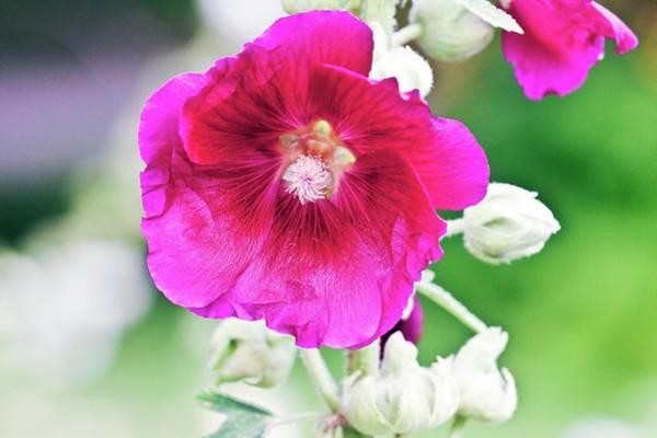 Alcea Photograph - Hollyhock (alcea Rosea) by Dan Sams/science Photo Library