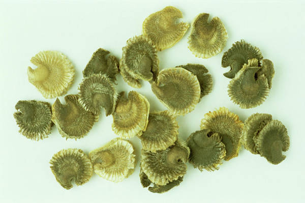 Hollyhock Photograph - Hollyhock Seeds by Th Foto-werbung/science Photo Library